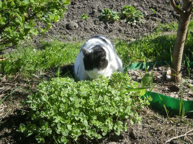 I am trying the catmint with great expression